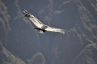 Condor in Colca Canyon