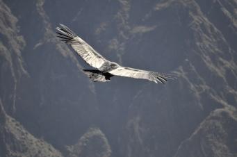 Condor in Colca Canyon