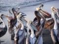 Giant Pelicans