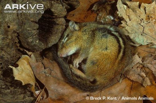 eastern-chipmunk-hibernating