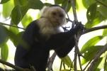 Costa Rican Monkey