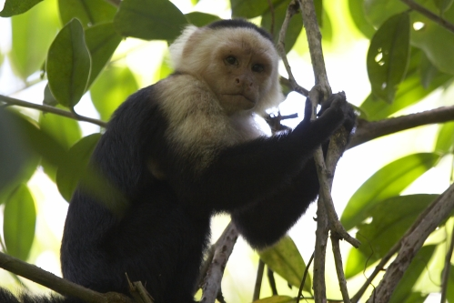 Cahuita Monkey
