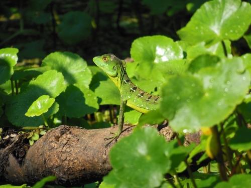 Tortuguero Lizard