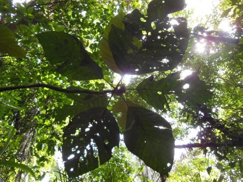 Tree canopy Tortuguero