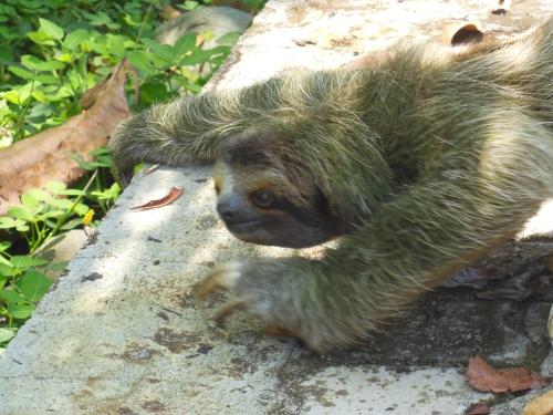 Sloth 1